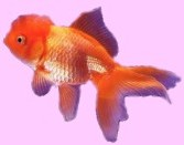 Red Oranda and yes, you can get them online!